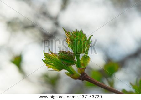 First Leaves In Spring Closeup First Life