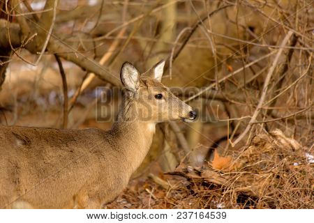 White-tailed Deer Near Woodland Trail In Patapsco Valley State Park