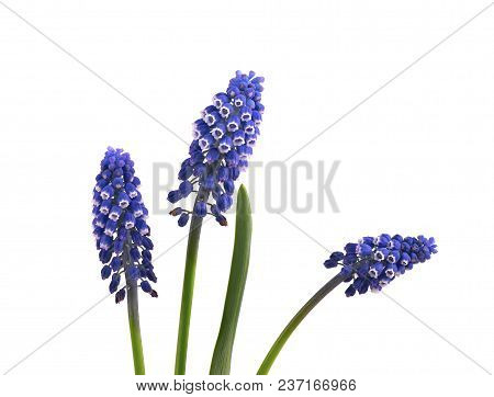 Two Flowers Of Muscari Isolated On White Background. Grape Hyacinth.