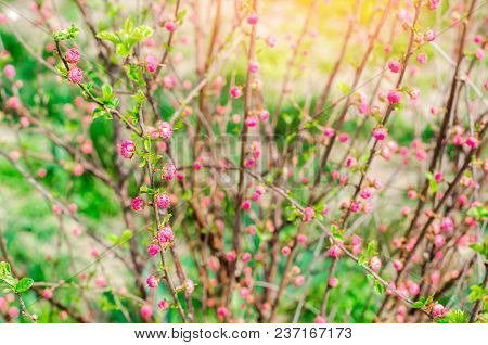 A Young Bush Of A Pink Tea Rose, Buds Of Roses, A Concept Of Spring, Natural Wallpaper