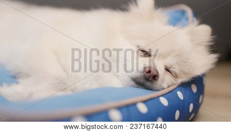 Lovely Pomeranian dog sleep on bed