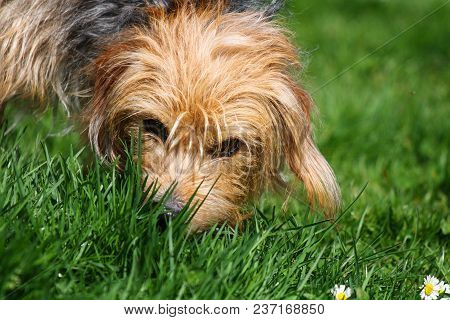 A Brown Eyed Mongrel Dog Sniffing Green Grass