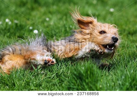 A Hairy Mongrel Dog Rolling In Grass