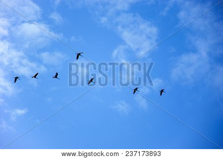 Flock With Migrating Common Cranes By A Blue Sky