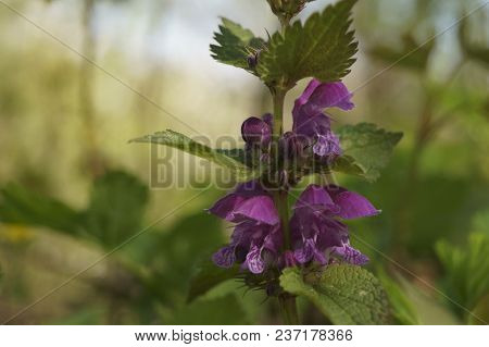 Medicinal Plants - Red Dead-nettle (lamium Purpureum)