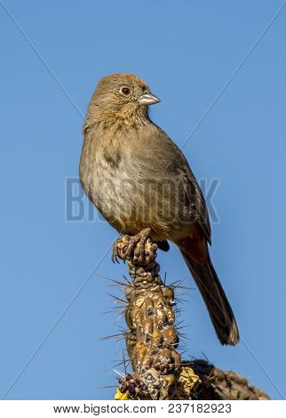 A Drab Looking Canyon Towhee Perches At The Top Of A Stalk Of Cholla In The Colorado Desert.