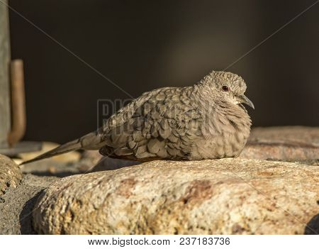 A Beautiful Tiny Inca Dove With A Vibrant Red Eye Rests On A Stone Ledge In A Southern Arizona Garde