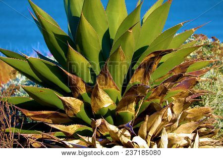 Agave Plant which is a desert chaparral shrub native to arid landscapes taken in the California Coast with the Pacific Ocean beyond poster