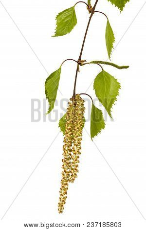 Birch Branch Isolated On A White Background