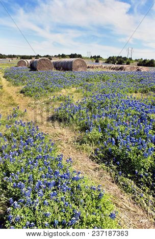 Texas Bluebonnets In The Countyside Of Ennis,texas With Room For Your Type.
