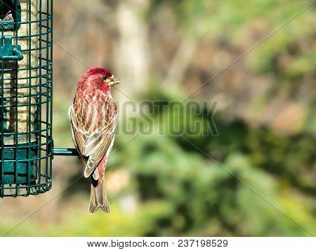 Purple Finch, Haemorhous Purpureus, On Bird Feeder On A Sunny Day In Bemidji Minnesota