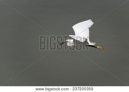 Little Egret Egreta Garzetta Flying With A Fish In The Beak