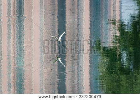 Little Egret Egreta Garzetta Flying With Building Reflections In The Water, Chengdu, China