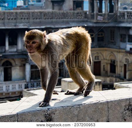 Urban Monkey Walks On A Wall