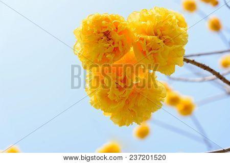 Cochlospermum Regium Plant And Flowers On The Blue Sky Background.