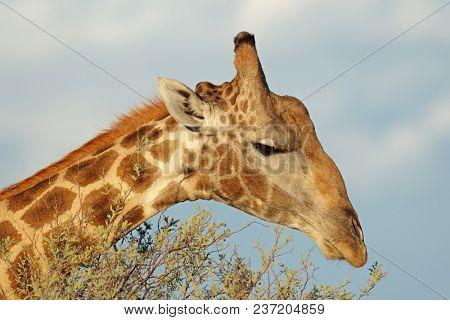 Close-up portrait of giraffe (Giraffa camelopardalis) feeding on a tree, South Africa
