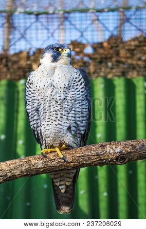Peregrine Falcon, A Large Beautiful Cards, Strong Hawk, Bird Of Prey In The Wild. Flying Bird Of Pre