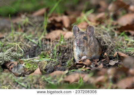 Quietly Sitting On The Forest Floor And Looking Alert Emerging From The Fauna Is This Wood Mouse Apo