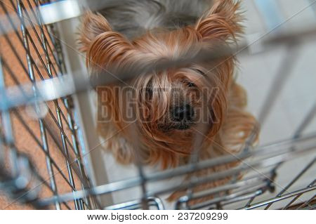 Yorkshire Terrier Doggie In A Cage. Intelligent Yorkies Dog Top View.