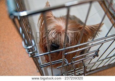 Yorkshire Terrier Shaggy Doggie In A Cage. Intelligent Yorkies Dog Top View.