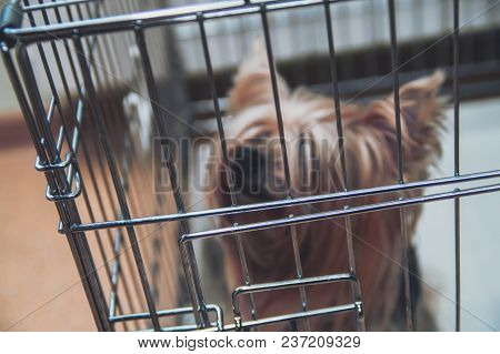 Blurred Yorkshire Terrier Shaggy Doggie In A Cage. Intelligent Yorkies Dog Top Front View.