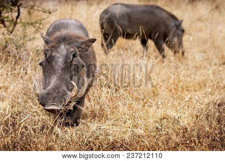 Two South African Warthogs Feeding In Kruger National Park
