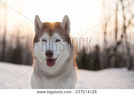 Close-up Portrait Of Free And Beautiful Dog Breed Siberian Husky Sitting On The Snow In Winter Fores