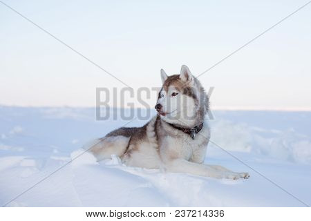 Profile Portrait Of Beautiful Dog Breed Husky Is Lying On The Snow At Sunset And Looking Into The Di
