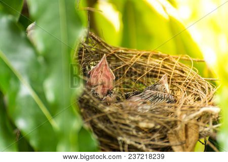 Bird (Streak-eared bulbul, Pycnonotus blanfordi) brown color perched in bird nest with baby bird on a tree in a nature wild poster