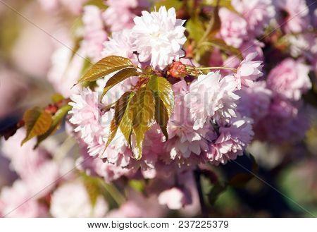 Spring Blooming Of Sakura.  Kiku Shidare Sakura.