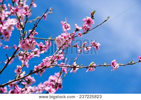 April Spring Peach Tree Blossom. Sweet Peach Blossoms In Early Spring With Blue Sky In Background.
