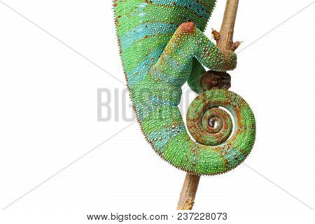 Alive Chameleon Reptile Sitting On Branch. Macro Studio Shot Of Reptile Tail Isolated On White Backg