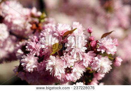 Spring Blooming Of Sakura.  Kiku Shidare Sakura. Copy Space.