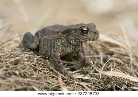 Juvenile Common Toad (bufo Bufo) In Long Dry Yellow Grass Stalks