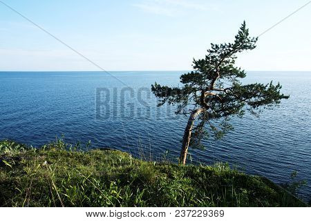 Pine Tree Inclined By The Wind. Toned Photo. Lone Tree Stands Near The Shore Of The Ladoga Lake. Isl