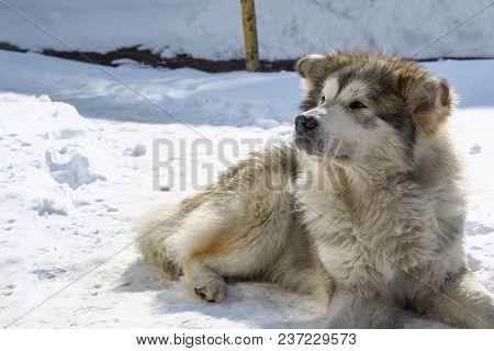 A Big Mongrel Dog Lies On The Snow