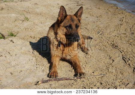 German Shepherd Dog Nature Animals Sun Doggy