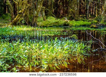 Beautiful Swamp With Sunlit Green Vegetation In A Forest.