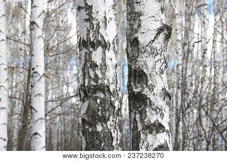 Beautiful White Birches In Spring In Birch Grove
