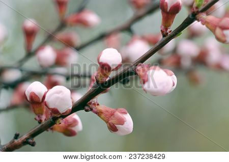 Apricot Blooming In The Garden. Beautiful Spring Seasonal Background Good For Greeting Card, Wedding