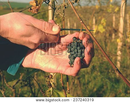 Farmer Check Quality Of Frozen Grape Vines In Vineyard In Autumn. The Vine Grapes In Traditional Vin