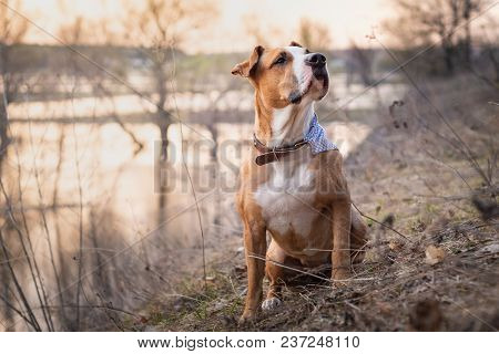 Beautiful Gorgeous Staffordshire Terrier Dog With Bandana In Grass At Sunset. Portrait Of Pitbull Te