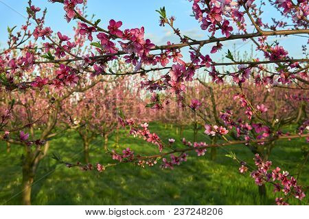 Blooming Pink Peach Blossoms On Tree Stick With Peach Trees Gardern On Nackground In The Begining Of