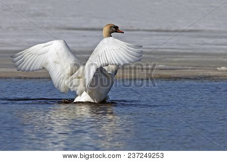 A Beautiful White Swan Flaps Its Wings And Swims In The Blue Lake In Early Spring