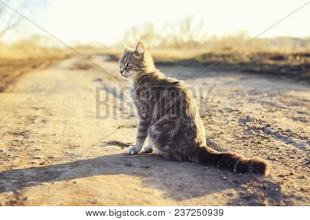 Beautiful Striped Cat Sits On The Road Protruding Tongue And Looks Into The Distance On The Sunny Sp