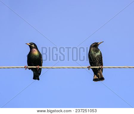 Two Black Starling A Male And Female Sitting On The Wires In The Spring On Blue Sky Background