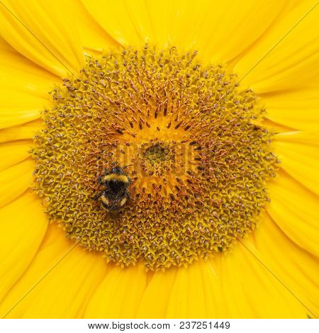 A Bee Hovering While Collecting Pollen From Sunflower Blossom. Macro Close-up