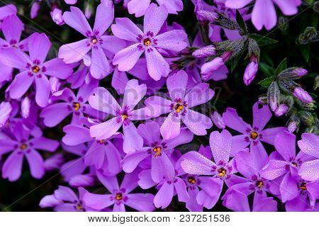 Beautiful Blooming Small Purple Blooming Shrub With Dew