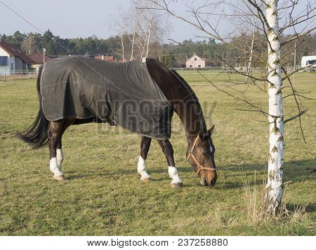 Close Up Brown Riding Horse Covered By Blanked Feeding In The Corral, Birch Tree And Green Grass Bac