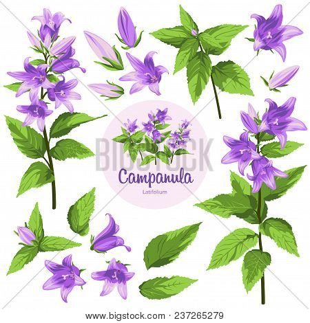 Campanula - Flowers, Isolated On White Background. Hand-drawn Illustrations.